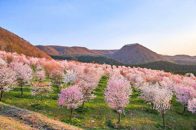 裏磐梯「桜峠さくらまつり」は、駐車場から既に絶景!