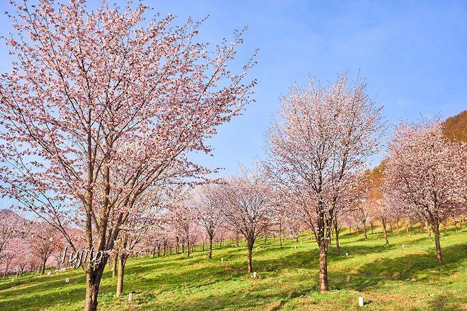 峠一面を桜色に染める!整然と植樹されたオオヤマザクラ