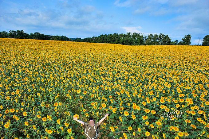 日本一150万本のひまわりの里!北海道・北竜町「ひまわりまつり」