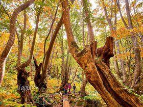 まるでジブリの世界!秋田「あがりこ大王」巨大奇形ブナの紅葉が神秘的