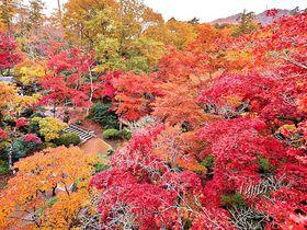 七色の紅葉が美しい!新潟・弥彦公園もみじ谷の紅葉ライトアップ