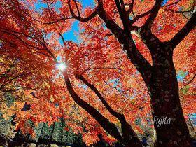 穴場の絶景!富士吉田「もみじ祭り」は富士五湖三大紅葉祭り