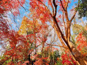 12月が最盛期!千葉・佐倉城址公園の紅葉は空堀が絶景