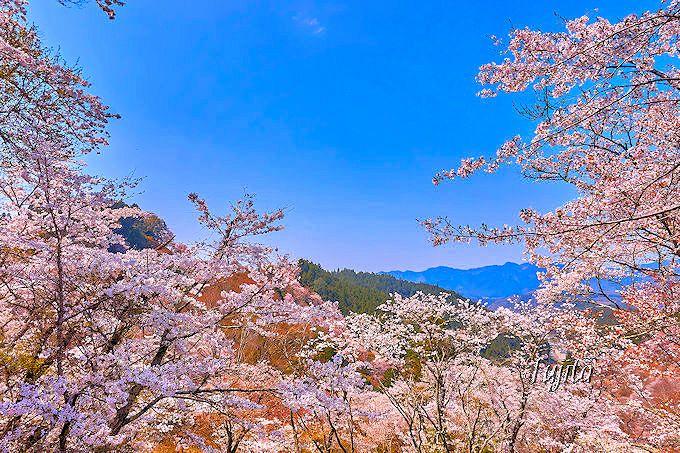 日本屈指の桜名所!世界遺産「吉野山」おすすめ花見コース