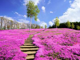 滝上公園の芝桜5つの鑑賞ポイント!北海道・オホーツク地方の芝桜名所