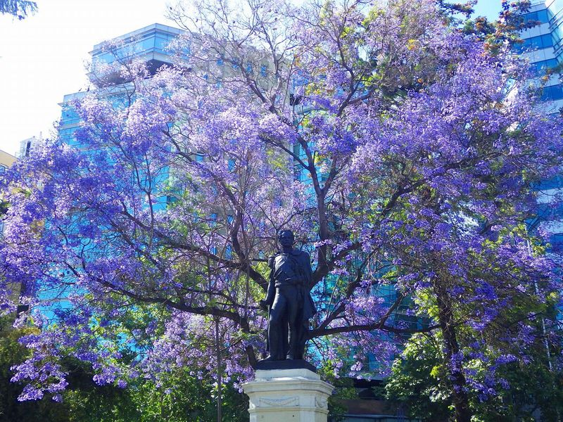 チリ サンティアゴ旧市街でジャカランダのお花見を楽しむ!