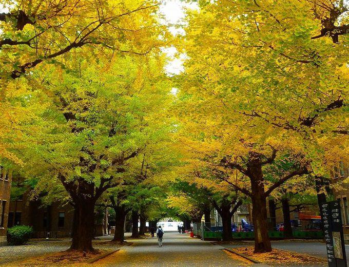 銀杏並木を愛でる 〜正門から安田講堂前へ〜