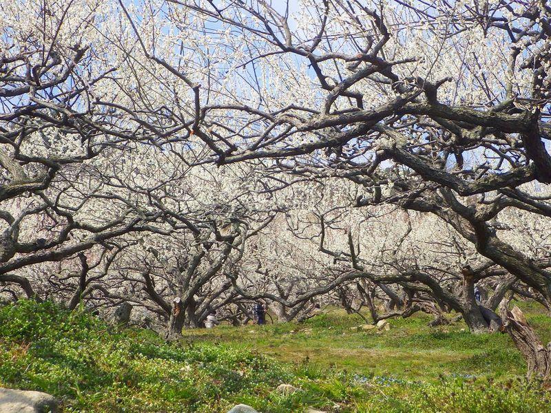 山全体に咲き誇る2万本の梅の花!兵庫「綾部山梅林」を訪ねる