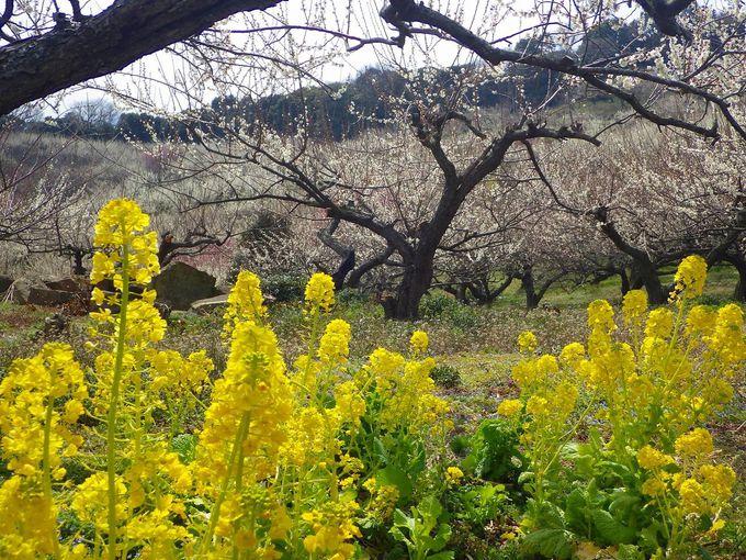 梅林にアクセントを添える春の花々も見事!