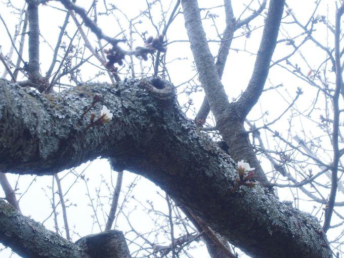稀なる不思議な桜「白子の不断桜」
