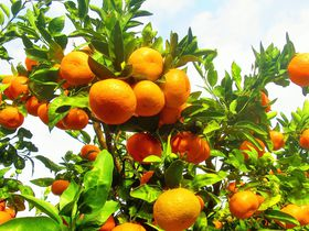 房州みかんが食べ放題!千葉・千倉オレンジセンターでみかん狩り|千葉県|トラベルjp<たびねす>