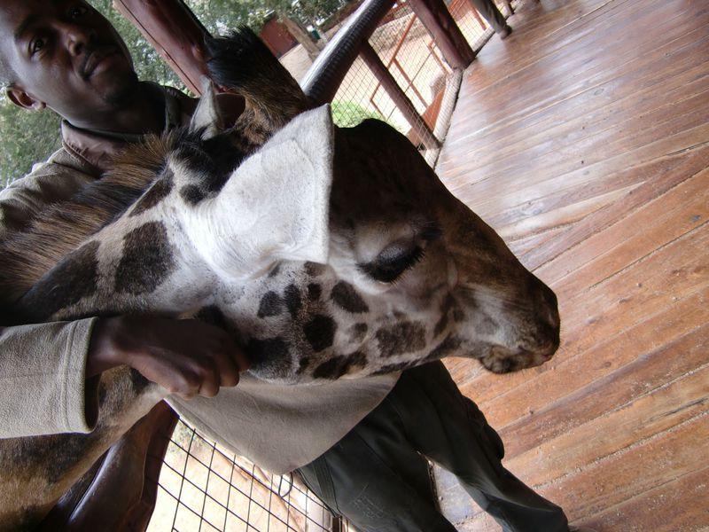 キリンとキスできる?!ケニア・ナイロビでキリンと戯れる!