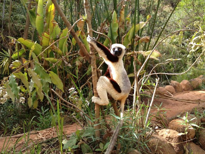 マダガスカルの愉快なキツネザル
