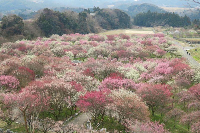 ピンクと白の梅じゅうたん!三重県・いなべ市農業公園の梅苑がすごい