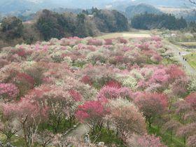 ピンクと白の梅じゅうたん!三重県・いなべ市農業公園の梅苑がすごい|三重県|トラベルjp<たびねす>