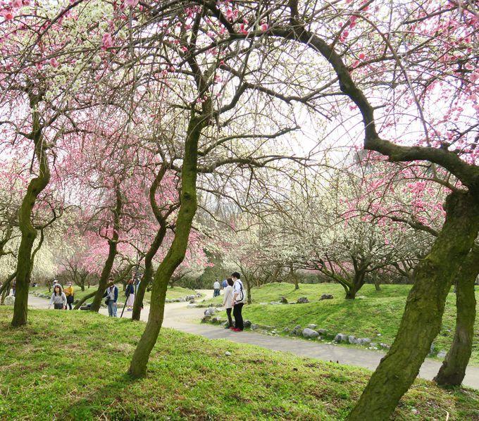 色とりどりの梅が咲き誇る梅苑!
