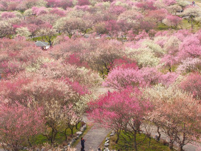 ピンクと白の梅じゅうたん!展望台からの眺めは最高