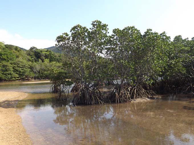 まるでジャングル?マングローブを楽しむ吹通川(ふきどうかわ)