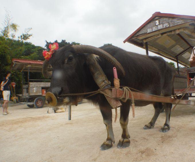 おすすめの楽しみ方の一つは、水牛車で集落観光です。