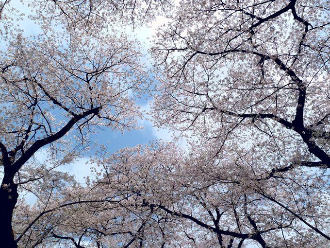 「日本さくら名所100選」!赤城南面千本桜