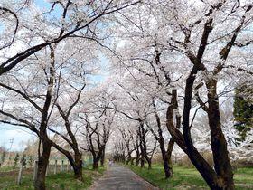 日本さくら名所100選!前橋「赤城南面千本桜」&谷川連峰の絶景