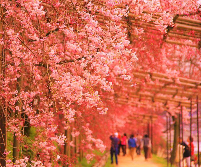 サザンの歌のモデル?可憐で美しい紅枝垂れ桜「半木(なからぎ)の道 」