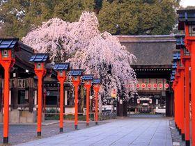 京都「平野神社」の桜の見ごろ、開花予想は?花見茶屋は予約がおすすめ