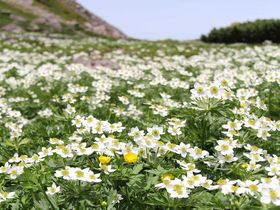 天空のお花畑でハイキングを楽しもう〜乗鞍山頂・畳平