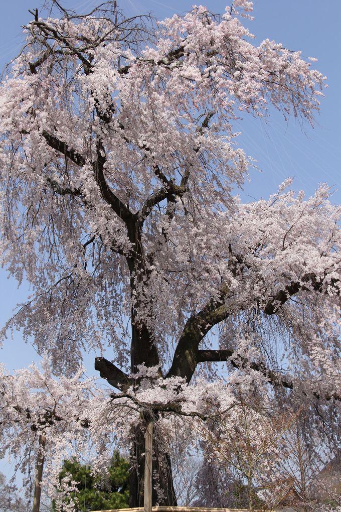 芸術品のように美しい、京都の祇園枝垂れ桜「円山公園」