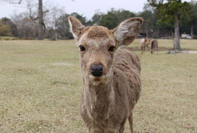 写真を撮っていると近づいてきた子鹿