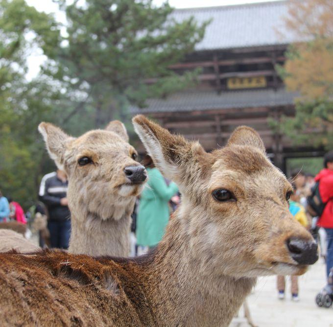 たくさんの鹿がいる東大寺の南大門