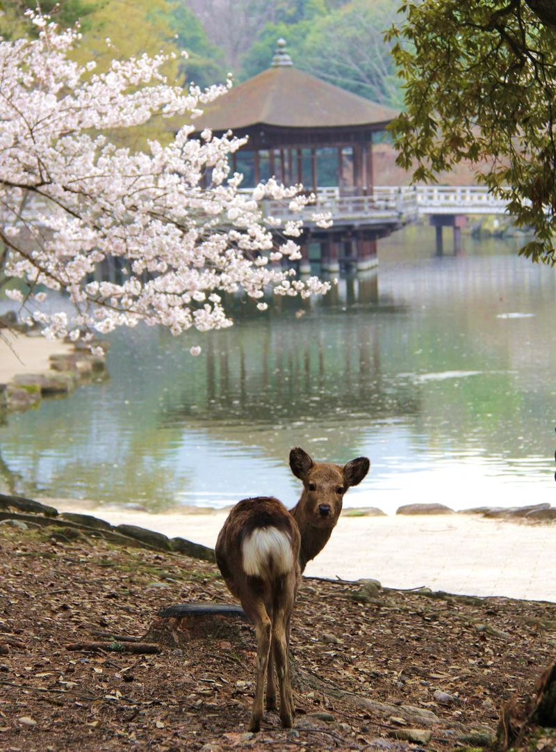 奈良公園で可愛い鹿たちに癒されよう