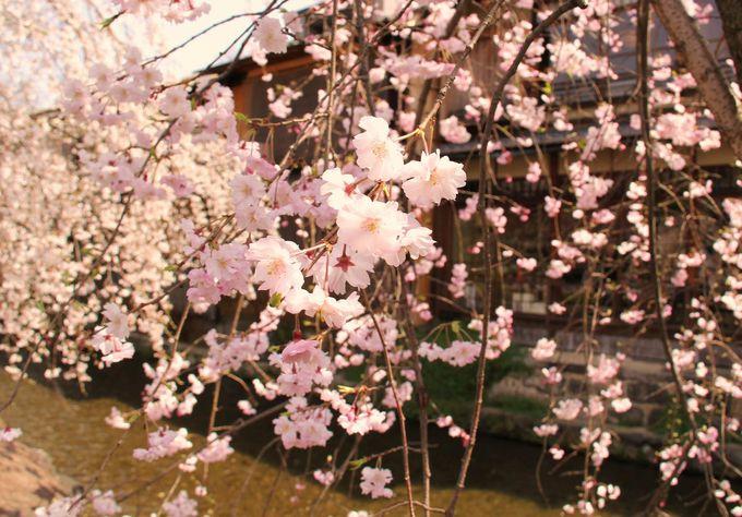 しだれ桜が雪のように降りかかる!「祇園白川」