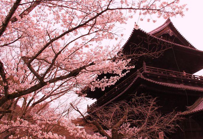 黒い三門と桜の紅色が映える「南禅寺」