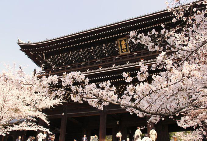 三門と桜のコントラストが美しい「知恩院」