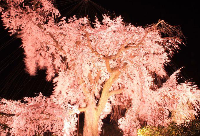 """美しい品格を感じさせる""""祇園の夜桜"""""""