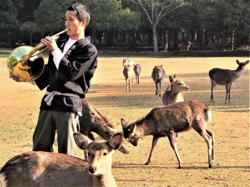 鹿を寄せる魔法のホルン!奈良公園の鹿は名曲『田園』にウットリ?