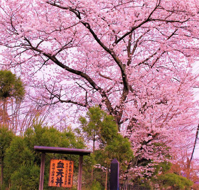 京都・桜の穴場〜「鷹峯」の3つのお寺、「京都御苑」「広沢池」
