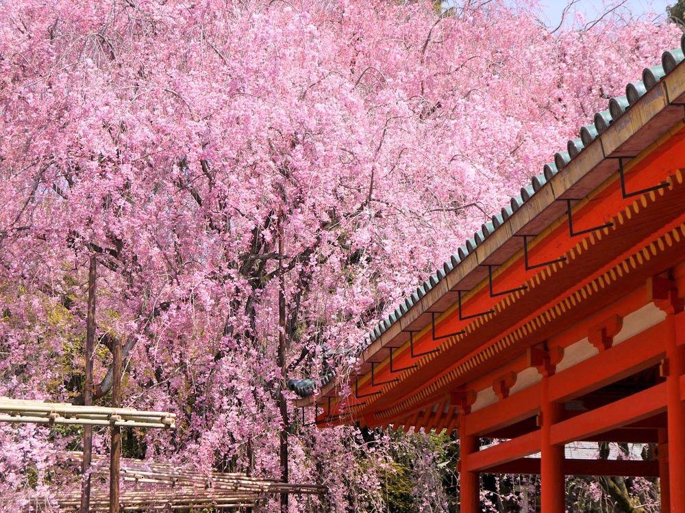 ライトアップも楽しめる!京都の桜名所「清水寺」「平安神宮」「円山公園」