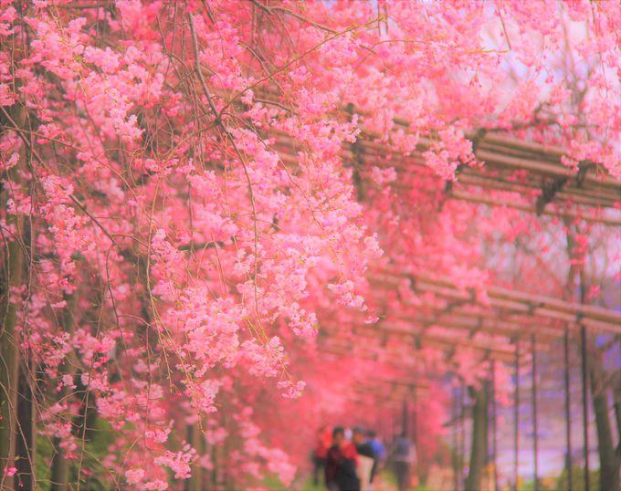 色鮮やかなピンクが美しい!京都おすすめの桜スポット「円山公園」「半木(なからぎ)の道」「平野神社」
