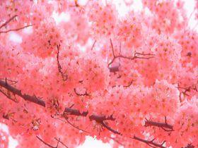 もうすぐ開花・見ごろ!京都おすすめ「桜の名所&穴場」15選