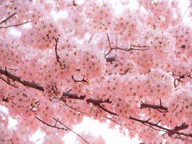 京都桜の開花予想、見ごろは?京都観光おすすめ桜名所&穴場15選