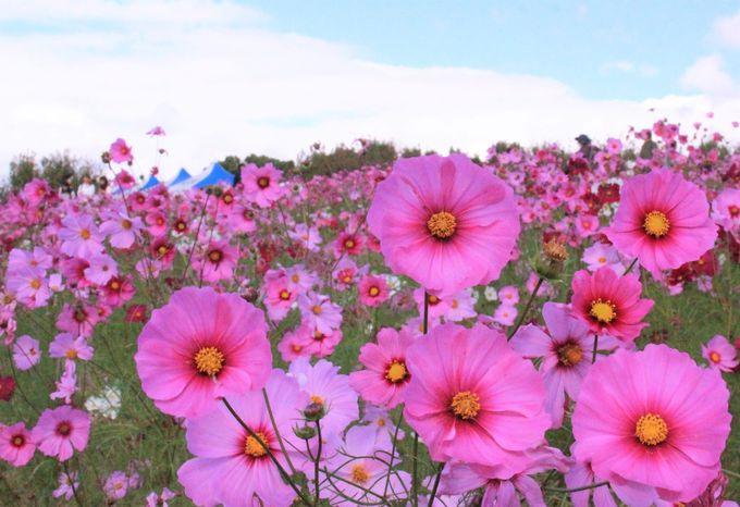 約30万本のコスモス!大阪・万博記念公園のコスモスフェスタで、のんびり秋の休日