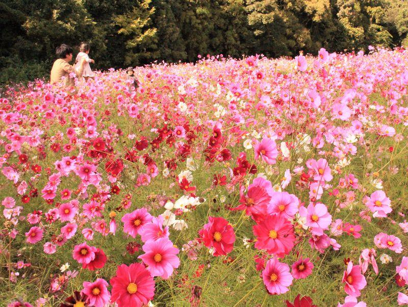 大阪万博公園でコスモスフェスタ開催!2017年開花状況&見ごろは?