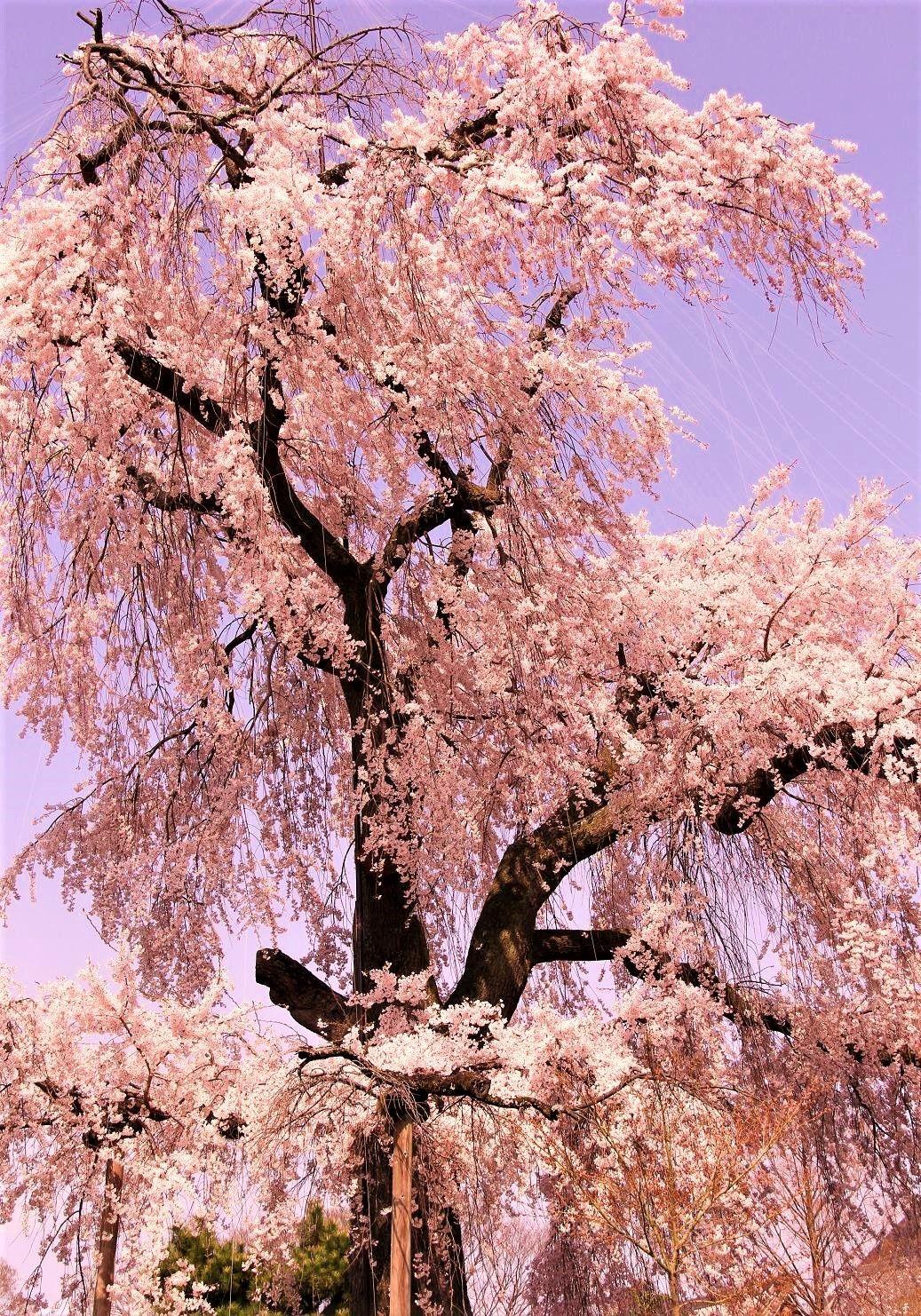 """""""祇園の夜桜""""としても有名「円山公園」"""