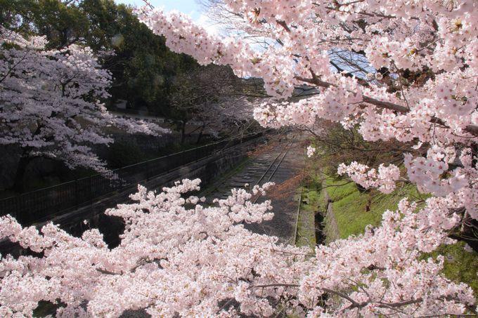 京都の桜の穴場!インクライン跡地の桜並木