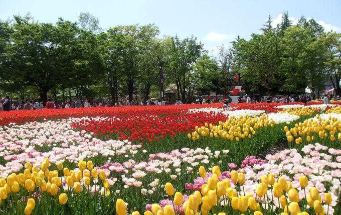 国内最多のチューリップ祭り・富山県砺波市