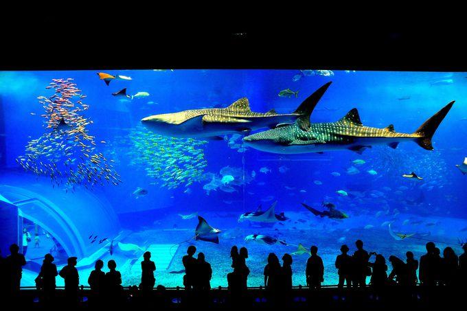 感動的な光景に出逢えるスポット!『沖縄美ら海水族館』