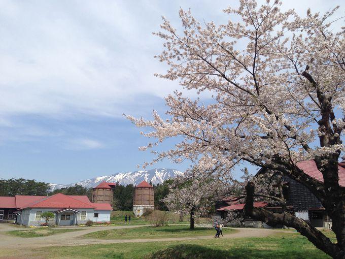 第1幕、小岩井農場の桜並木も満開!