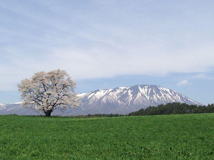 孤高の一本桜はGWが見頃!絶景の岩手山と小岩井農場一本桜(岩手)